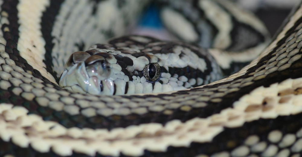 Aussie Reptiles - Sssspecialising in Quality Captive Bred